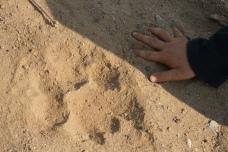 Fresh lion tracks