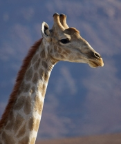Giraffe, like elephants feed on the Anna Trees of the Hoanib
