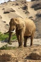Elephant Bull on the banks of the Hoanib River