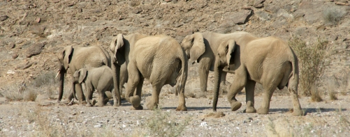 A herd of elephants making their way down into the Hoanib Riverbed