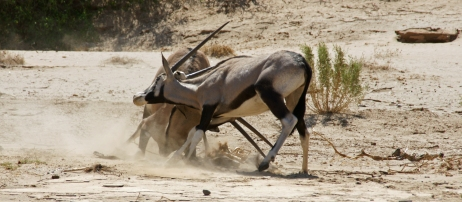 Oryx in large numbers can be found in the Hoanib Riverbed