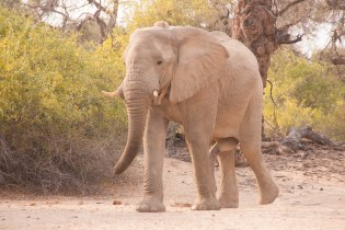 An elephant bull strolling into Camp 3 at Puros